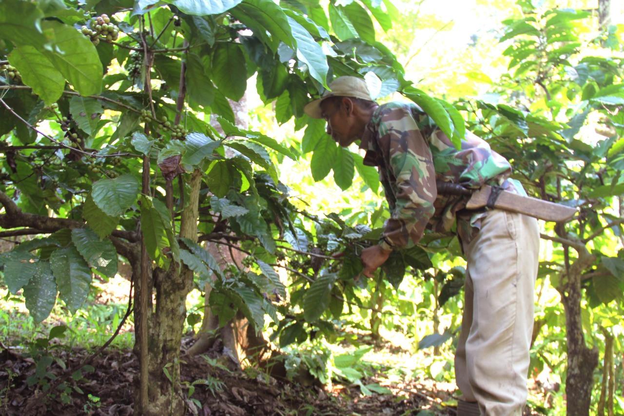 petani-kopi-berharap-hasil-panen-tahun-depan-lebih-baik