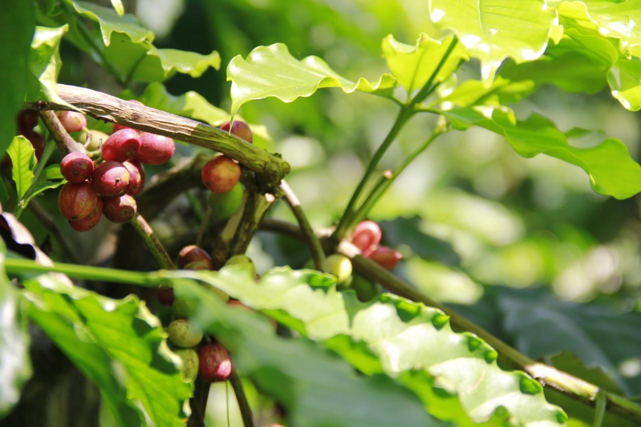 tugu-sari-kopi-kualitas-prima-andalan-petani-kemiriombo