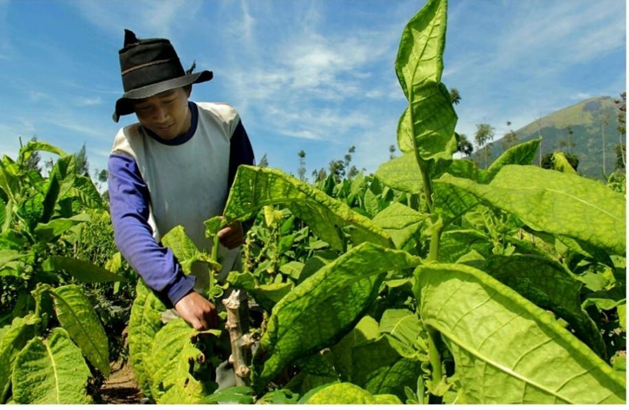 petani-berharap-tembakau-terserap-dengan-harga-pantas